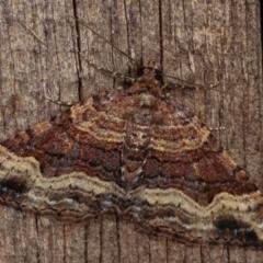 Epyaxa subidaria (Subidaria Moth) at Melba, ACT - 19 Dec 2020 by kasiaaus