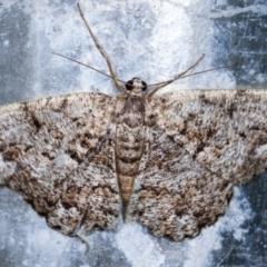 Psilosticha mactaria (Large Waved Bark Moth) at Melba, ACT - 19 Dec 2020 by kasiaaus