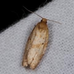 Merophyas divulsana (Lucerne Leafroller) at Melba, ACT - 19 Dec 2020 by kasiaaus