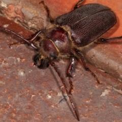 Sceleocantha glabricollis at Melba, ACT - 20 Dec 2020