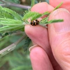 Peltoschema oceanica (Oceanica leaf beetle) at Murrumbateman, NSW - 6 Jan 2021 by SimoneC