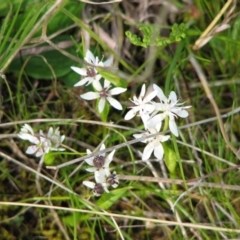 Wurmbea dioica subsp. dioica (Early Nancy) at Jones Creek, NSW - 12 Sep 2015 by abread111