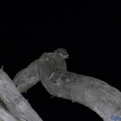 Petaurus breviceps (Sugar Glider) at Hughes Grassy Woodland - 5 Jan 2021 by JamWiRe