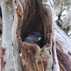 Callocephalon fimbriatum (Gang-gang Cockatoo) at Hughes Grassy Woodland - 6 Jan 2021 by JackyF