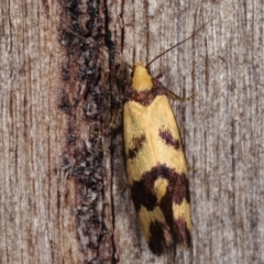 Olbonoma triptycha (Concealer moth) at Melba, ACT - 20 Dec 2020 by kasiaaus