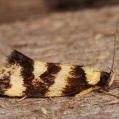 Eulechria chrysozona at Melba, ACT - 20 Dec 2020