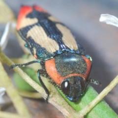 Castiarina erasma (Lovable jewel beetle) at Cooma, NSW - 5 Jan 2021 by Harrisi