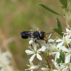 Megachile lucidiventris (Resin bee, Megachilid bee) at Mount Painter - 5 Jan 2021 by CathB