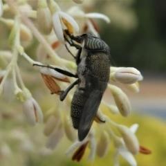 Stomorhina sp. (genus) at Kambah, ACT - 7 Jan 2021