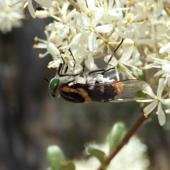 Scaptia sp. (genus) (March fly) at Mount Painter - 5 Jan 2021 by CathB