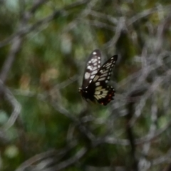 Papilio anactus (Dainty Swallowtail) at Red Hill Nature Reserve - 9 Dec 2020 by TomT