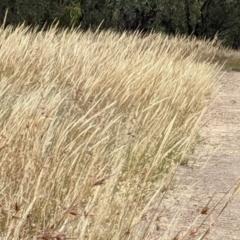 Austrostipa densiflora (Foxtail Speargrass) at Mulligans Flat - 1 Jan 2021 by abread111