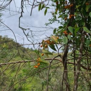 Eustrephus latifolius (Wombat Berry) at Numbugga, NSW by roachie
