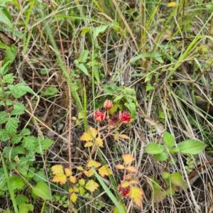 Rubus parvifolius (Native Raspberry) at Numbugga, NSW by roachie