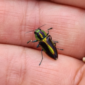 Selagis caloptera (TBC) at suppressed by roachie