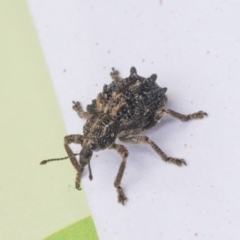 Oxyops fasciculatus (A weevil) at Scullin, ACT - 28 Nov 2020 by AlisonMilton
