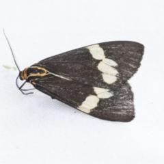 Nyctemera amicus (Senecio or Magpie moth) at The Pinnacle - 6 Jan 2021 by AlisonMilton