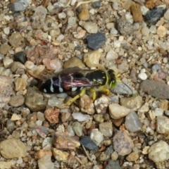 Bembix sp. (genus) (Unidentified Bembix sand wasp) at Macarthur, ACT - 5 Jan 2021 by RodDeb