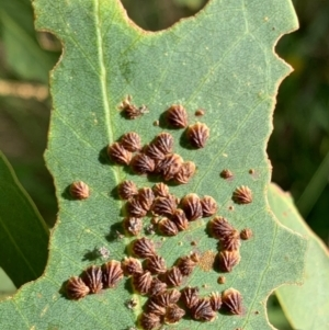 Spondyliaspis plicatuloides at Murrumbateman, NSW - 7 Jan 2021