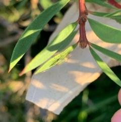 Chironomidae sp. (family) (Midge) at Murrumbateman, NSW - 5 Jan 2021 by SimoneC