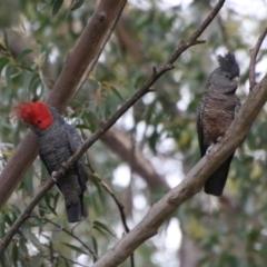 Callocephalon fimbriatum (Gang-gang Cockatoo) at suppressed - 7 Jan 2021 by LisaH