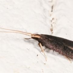 Lecithocera terrigena at Melba, ACT - 21 Dec 2020