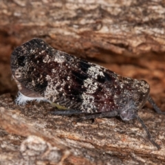 Platybrachys sp. (genus) (A gum hopper) at Namadgi National Park - 6 Jan 2021 by rawshorty