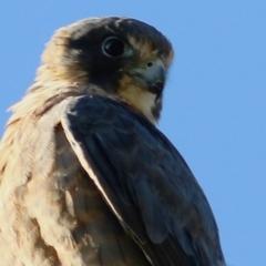 Falco longipennis (Australian Hobby) at Wodonga - 7 Jan 2021 by Kyliegw