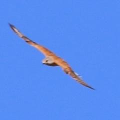 Falco cenchroides (Nankeen Kestrel) at Wodonga - 7 Jan 2021 by Kyliegw