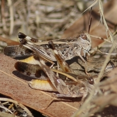 Unidentified Grasshoppers, Crickets & Katydids (Orthoptera) (TBC) at Felltimber Creek NCR - 7 Jan 2021 by Kyliegw