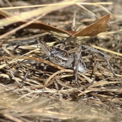 Lycosidae sp. (family) (Unidentified wolf spider) at Wodonga - 7 Jan 2021 by Kyliegw