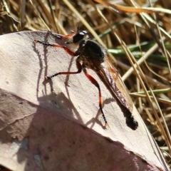 Neoaratus hercules (Robber Fly) at Wodonga - 7 Jan 2021 by Kyliegw