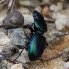 Unidentified Beetle (TBC) at Moruya, NSW - 7 Jan 2021 by LisaH