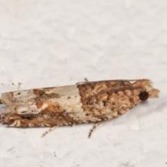 Crocidosema plebejana (Cotton Tipworm Moth) at Melba, ACT - 21 Dec 2020 by kasiaaus
