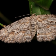 Ectropis (genus) (An engrailed moth) at Melba, ACT - 21 Dec 2020 by kasiaaus