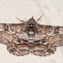 Cleora displicata (A Geometrid moth) at Melba, ACT - 21 Dec 2020 by kasiaaus