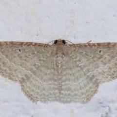 Poecilasthena pulchraria (Australian Cranberry Moth) at Melba, ACT - 21 Dec 2020 by kasiaaus