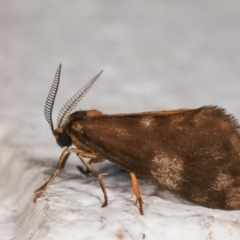Anestia (genus) (A tiger moth) at Melba, ACT - 21 Dec 2020 by kasiaaus