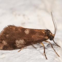 Anestia (genus) at Melba, ACT - 22 Dec 2020