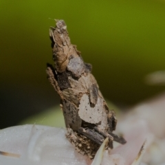 Psychidae (family) (Unidentified case moth or bagworm) at Acton, ACT - 6 Jan 2021 by WHall