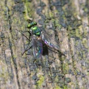 Dolichopodidae sp. (family) at ANBG - 6 Jan 2021