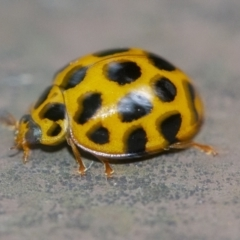 Harmonia conformis (Common Spotted Ladybird) at ANBG - 6 Jan 2021 by WHall