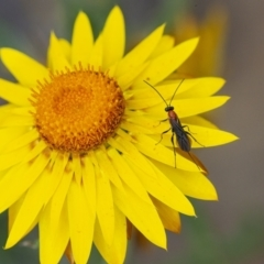 Ichneumonidae sp. (family) (Unidentified ichneumon wasp) at ANBG - 6 Jan 2021 by WHall