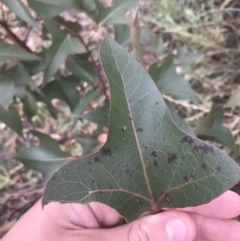 Brachychiton populneus subsp. populneus (Kurrajong) at Mount Taylor - 7 Jan 2021 by Tapirlord