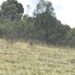Macropus robustus (Wallaroo) at Mount Taylor - 7 Jan 2021 by Tapirlord