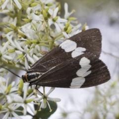 Nyctemera amicus (Senecio or Magpie moth) at The Pinnacle - 5 Jan 2021 by AlisonMilton
