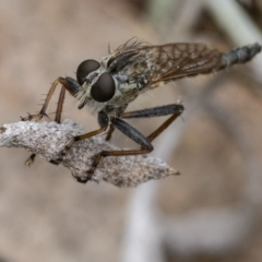 Cerdistus vittipes (Robber fly) at Googong, NSW - 1 Jan 2021 by WHall