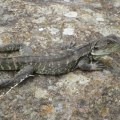 Intellagama lesueurii (Eastern Water Dragon) at Uriarra Recreation Reserve - 8 Jan 2021 by KShort