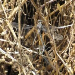 Austroargiolestes icteromelas (Common Flatwing) at Woodstock Nature Reserve - 8 Jan 2021 by KShort