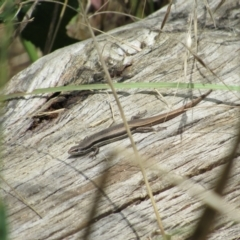 Morethia boulengeri (Boulenger's Skink) at Lower Molonglo - 8 Jan 2021 by KShort
